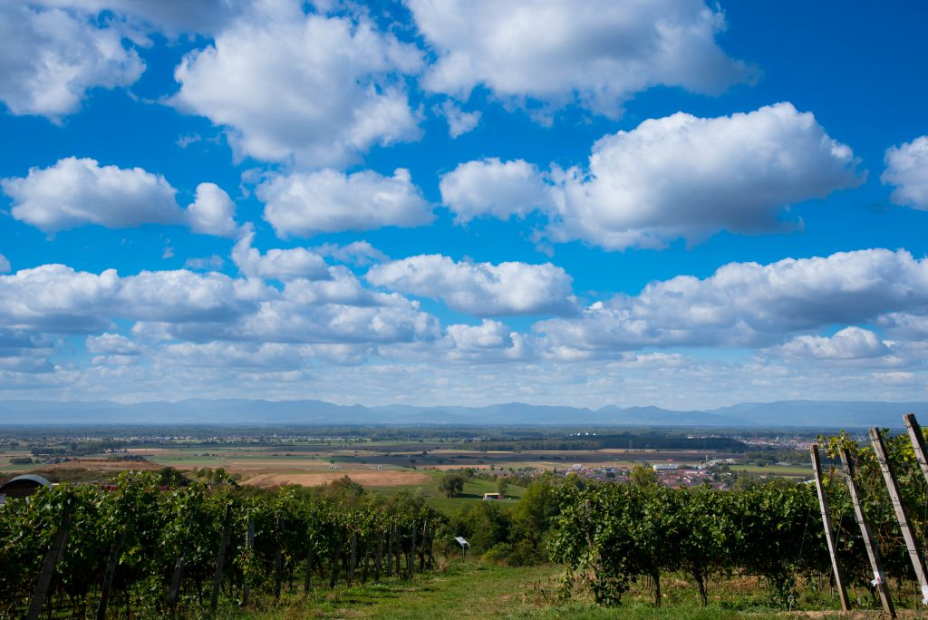Im Vordergrund sind Weinreben im Schwarzwald zu sehen und im Hintergrund die Berge der Vogesen bei blauem Himmel mit mehreren Wolken